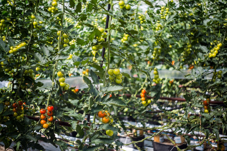 hodowla organicznych pomidorów